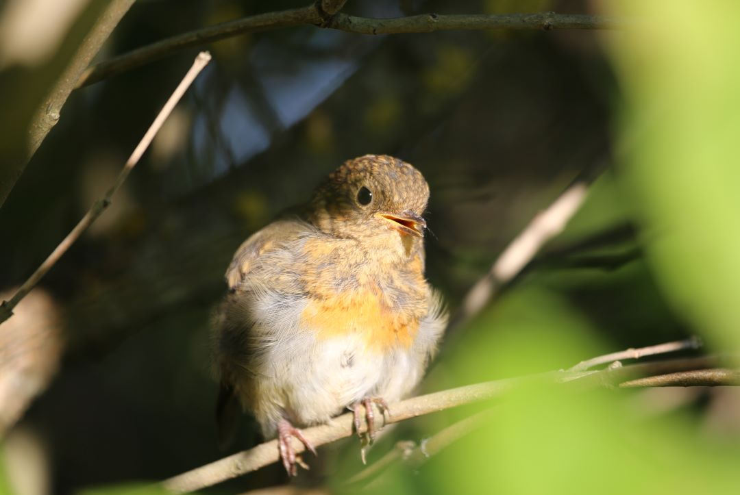 The migratory songbird is migrating late why?