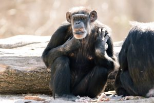 Chimps Throwing Stones At Trees To Create 'Rock Music'
