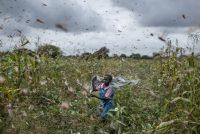 Worst Locust Plague In Decades Destroy Crops in East Africa