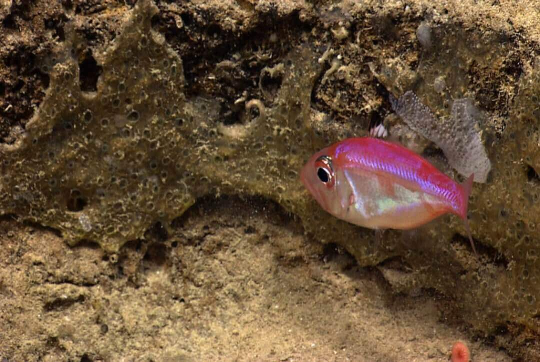 Meet The First Deep-Sea Fish Known To Be A Mouthbreeder