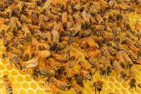 Dance' Study Hopes To Conserve Booty-shaking Honeybees